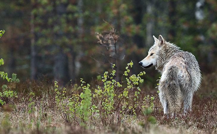 Коллекция публикаций о волках в изданиях Американского териологического общества выложена в свободном доступе до 1 ноября 2021 г.