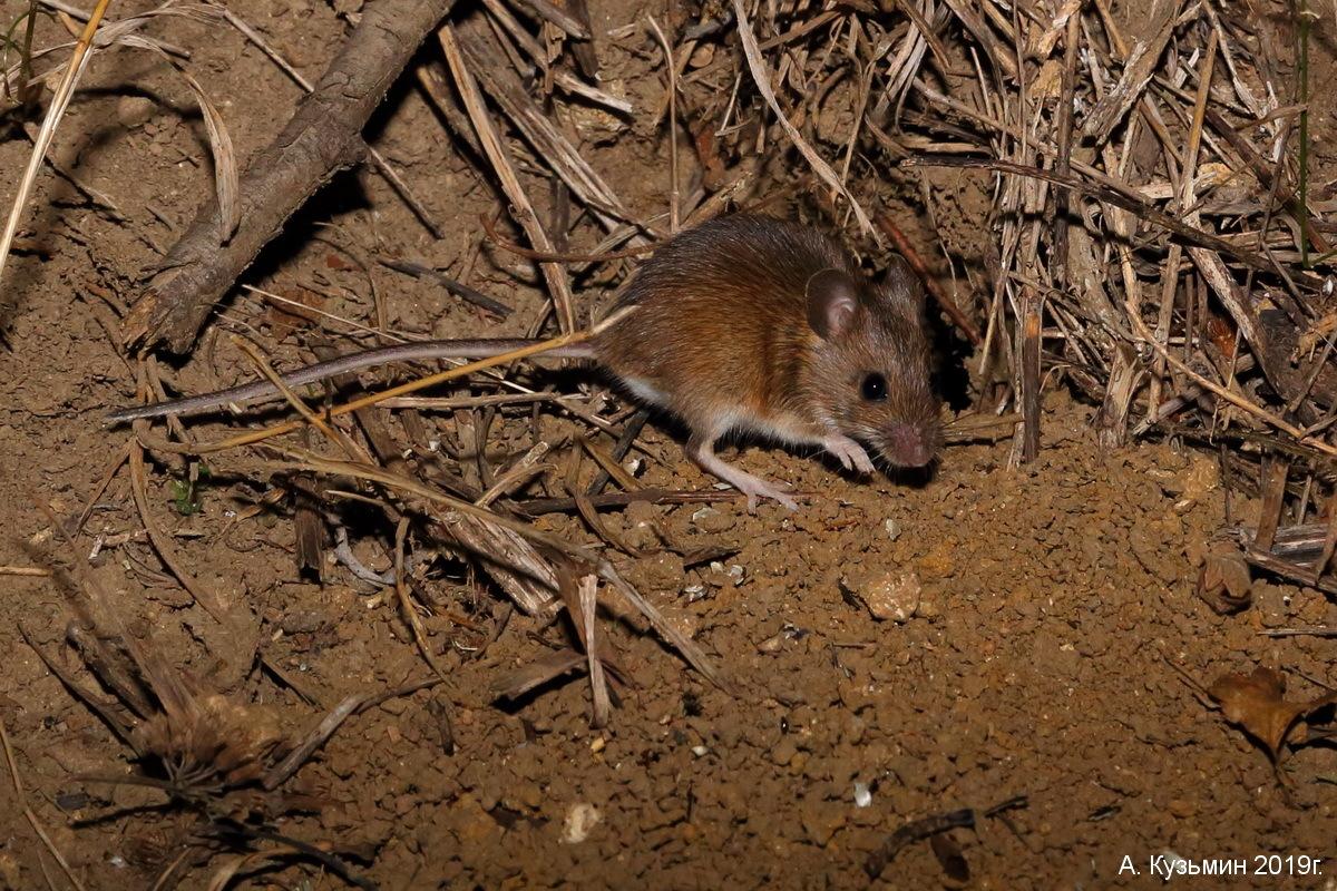 Малая лесная мышь (Sylvaemus uralensis)