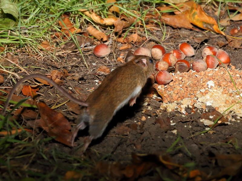 Желтогорлая мышь (Sylvaemus flavicollis)