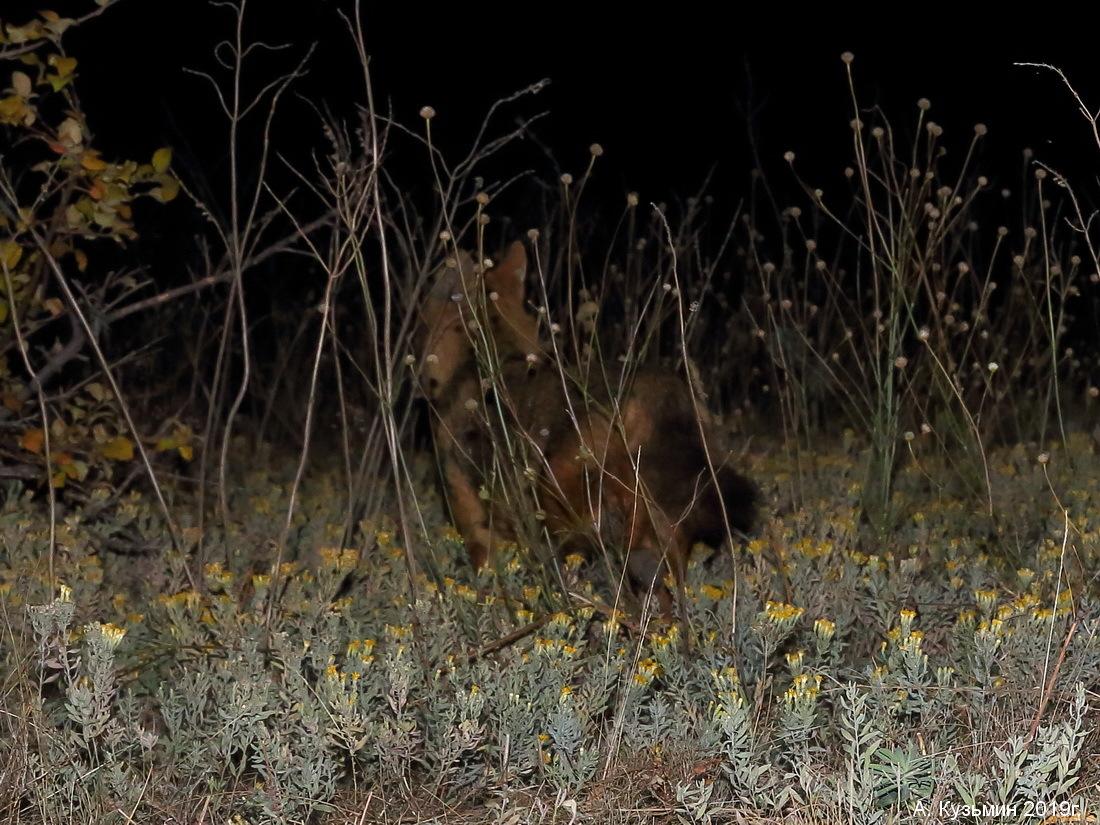 Шакал (Canis aureus)