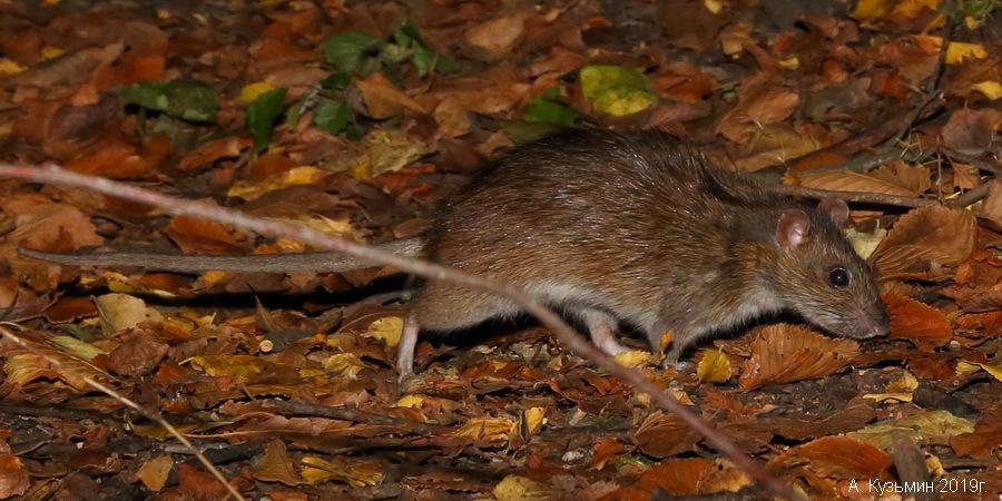 Серая крыса (пасюк) (Rattus norvegicus)
